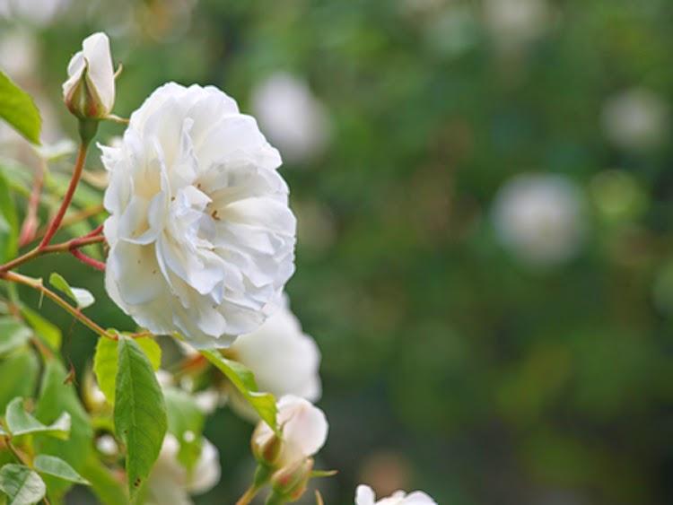 Schneewitchen - en hvid klatrerose
