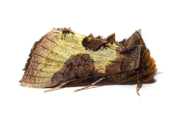 Burnished Brass - Photographed in Milton Keynes