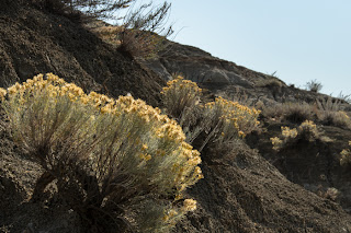 Rabbitbrush in flower.  Photo © Shelley Banks