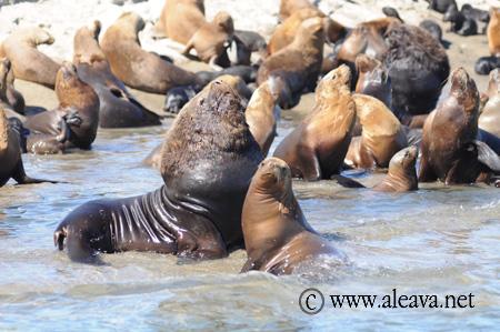 Seelöwen in Halbinsel Valdés