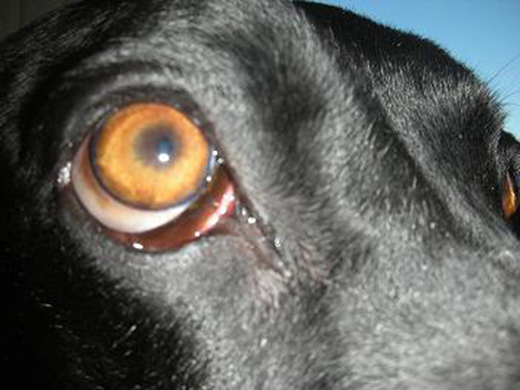 Why Are The White Part Of My Dogs Eyes Red