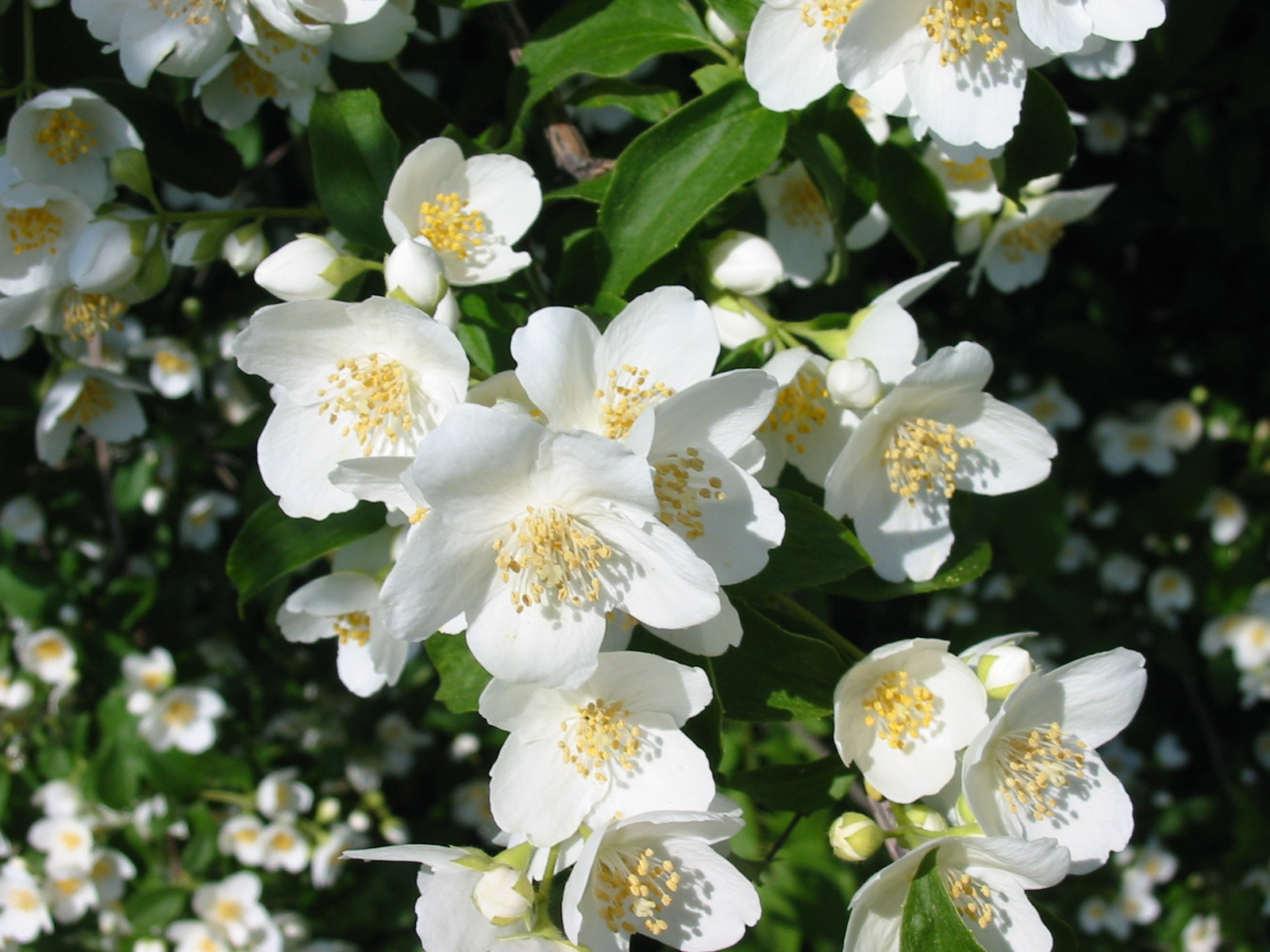 Jasmine Flower Wallpapers Latest News