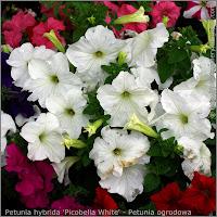 Petunia hybrida 'Picobella White' - Petunia ogrodowa 'Picobella White'