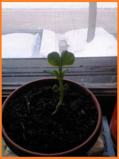 Single pea sprout, stretching toward a window.  Nothing but snow on the ground outside.