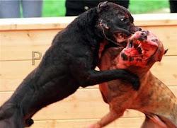 ¿Tradición o Maltrato Animal?  ¿Justicia o Impunidad?