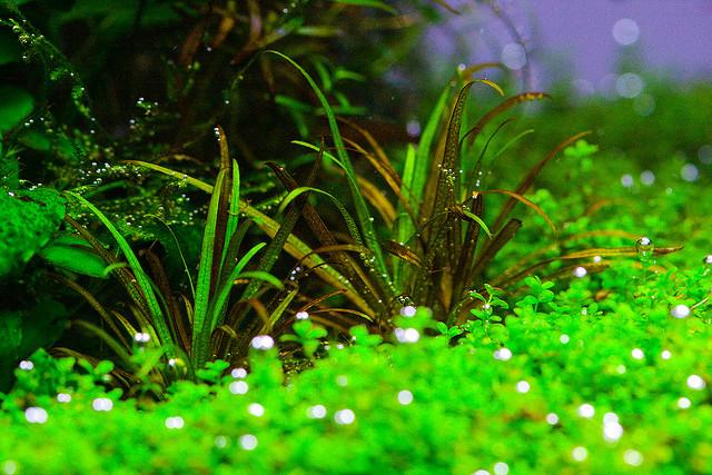 Aquatic Aquarium Plants Healthy aquatic plant