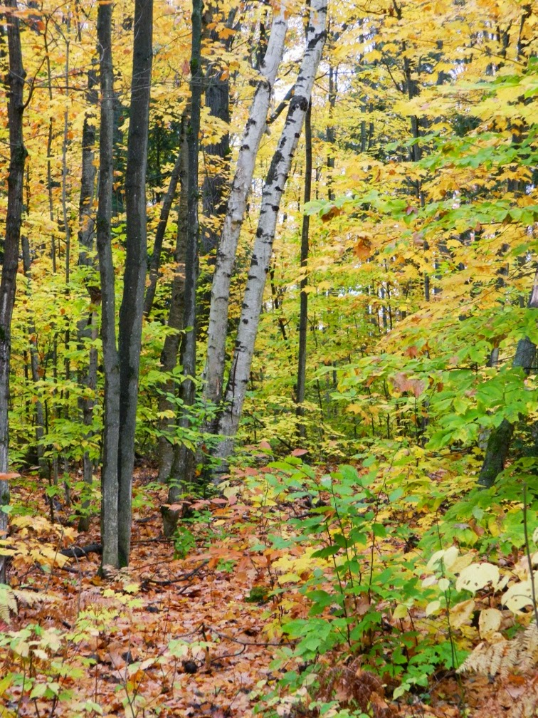 Muskoka fall colours birches maples by garden muses--a Toronto gardening blog