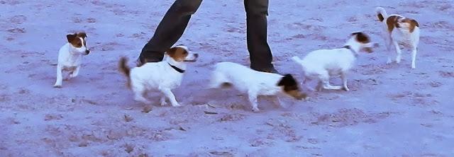Cuatro Jack Russell Terrier y una Herba :-)