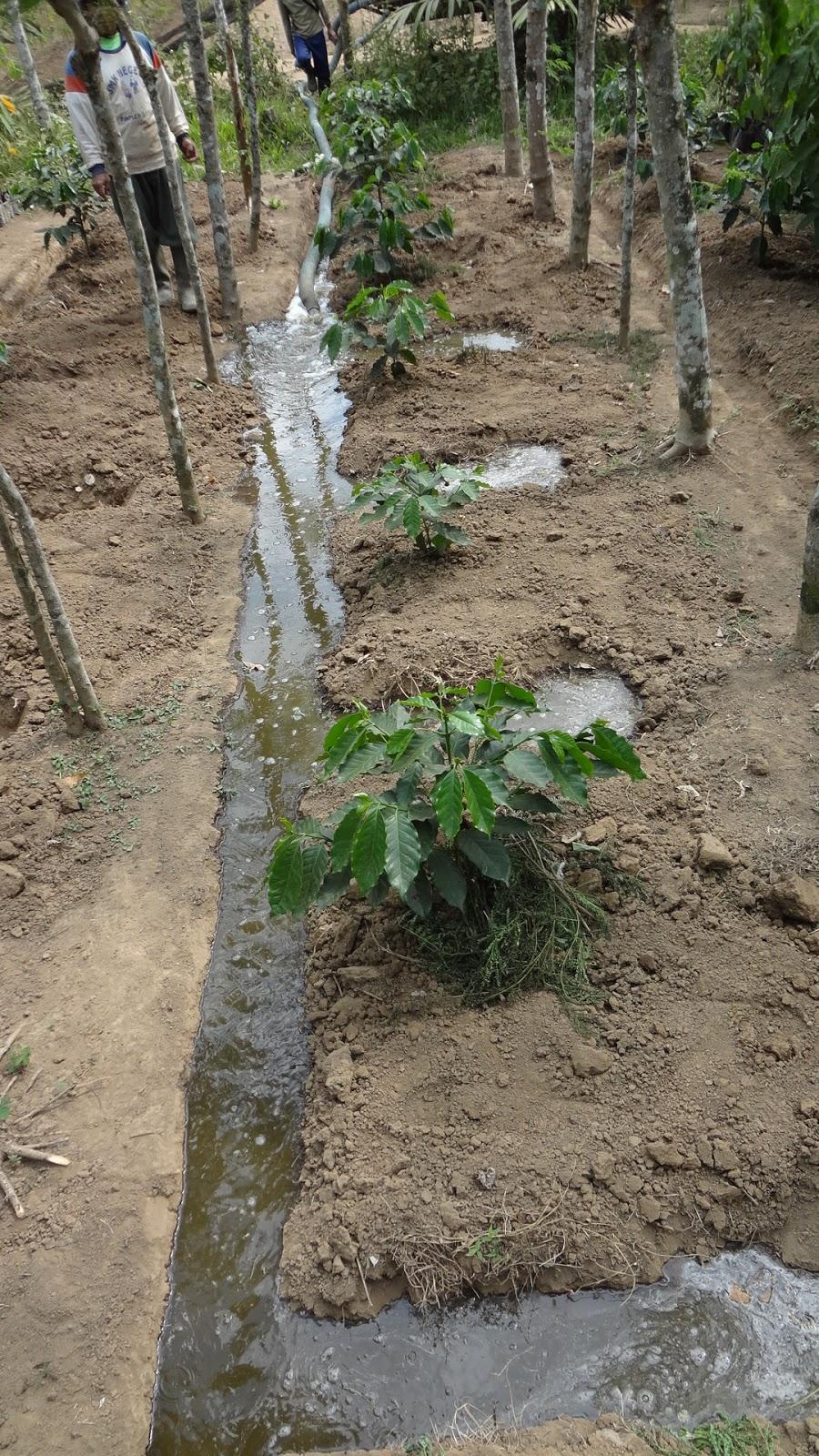 Aplikasi Pupuk Organik Cair Pada Tanaman Kopi