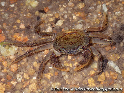 Johnson's Freshwater Crab (Irmengardia johnsoni)