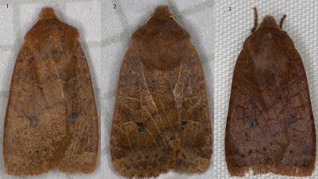 Three Chestnuts, Conistra vaccinii.  Noctuids. Moths trapped in my back garden in Hayes on 24 February 2012.