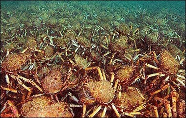Japanese Spider Crabs thousands pile