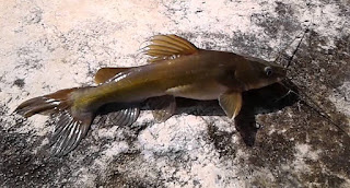 cara mancing ikan baung, mancing ikan baung paling jitu umpan sungai, tips jitu teknik memancing,