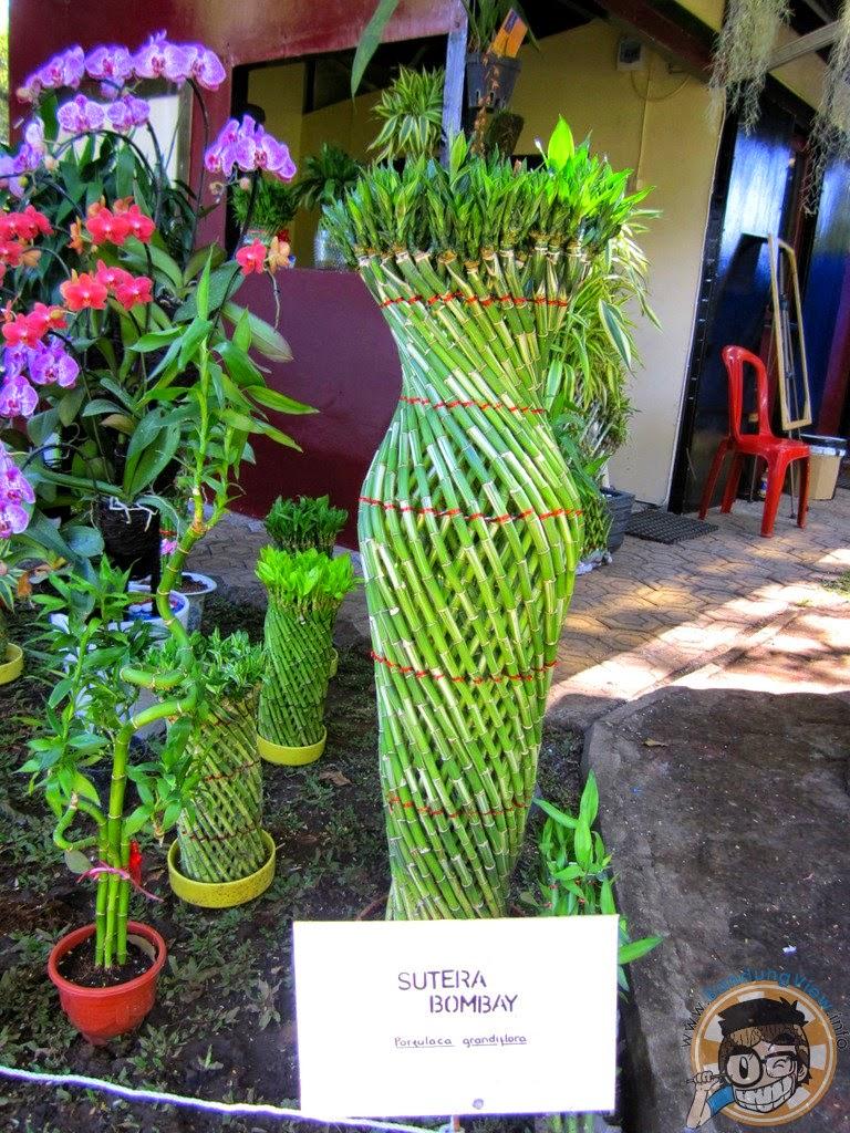 Sutera bombay - Taman pustaka bunga kandaga puspa
