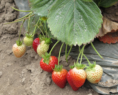 Naturipe and the Future of Strawberries