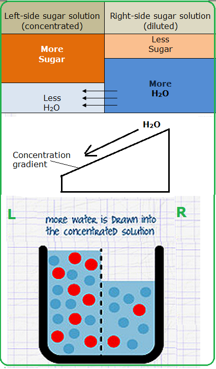 as biology coursework - water potential Ap biology lab: osmosis and potatoes having equal water potential since the two solutions have an equal definition from biology-onlineorg.