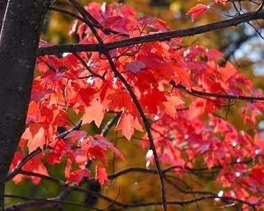 http://www.statesymbolsusa.org/Rhode_Island/tree_RI_redmaple.html