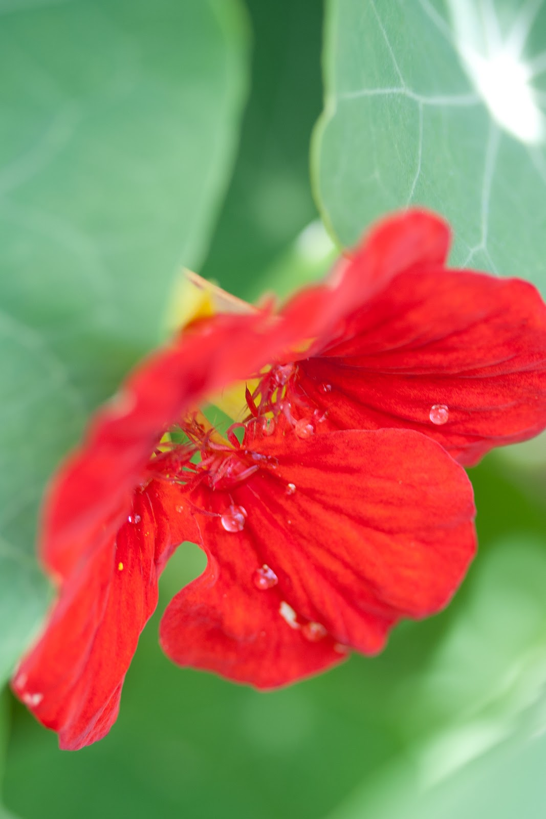 The common nasturtium tropaeolum majus hawaii horticulture its beautiful does well in the garden and many of its parts are edible adding a sweet peppery taste to food it easily holds its own in a flower garden izmirmasajfo