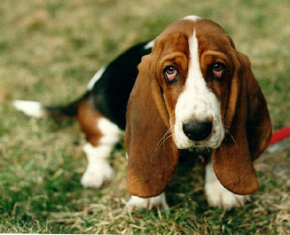 Basset Hound Dogs Pets Cute And Docile