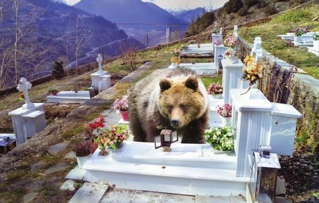 Γρεβενά: Αρκούδες τρέφονται από το λάδι των καντηλιών σε νεκροταφεία