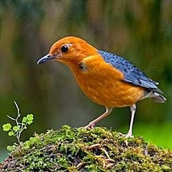 Foto Burung Anis Ampenan Jantan