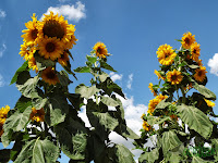 sunflowers tracking the sun
