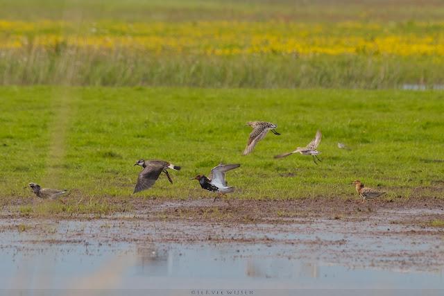 Kemphaan & Kievit - Ruff & Lapwing - Philomachus pugnax & Vanellus vanellus