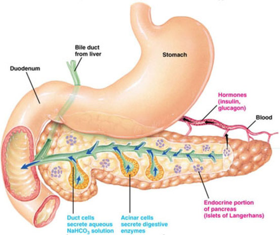 Medicine In Brief: Physiology of Insulin