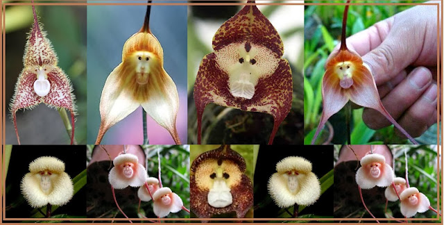 Monkey orchid is also known as Dracula orchid or monkey face Dracula, but its scientific name is Orchis simia.