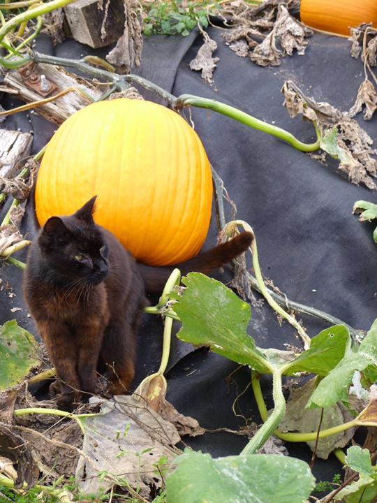 black at at pumpkin patch