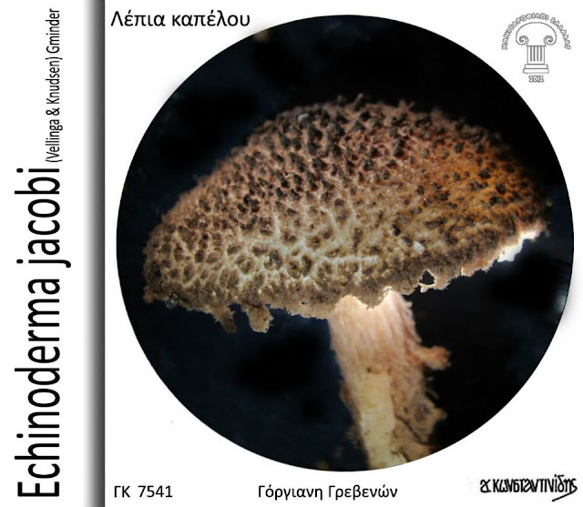 Echinoderma jacobi (Vellinga & Knudsen) Gminder