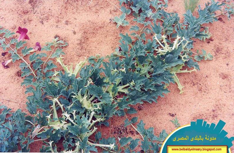 تعرف على فوائد نبات مخلب الشيطان وفوائده العلاجيه فى امراض التهاب المفاصل وآلام العضلات