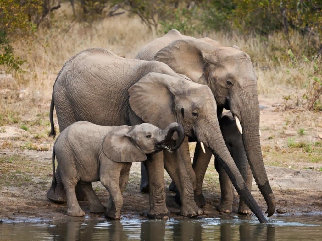 "<img src=""http://4.bp.blogspot.com/-ofgqM_Cgfus/UtmXjKWUwKI/AAAAAAAAIsQ/WYvtkNFhbNw/s1600/animal-wallpapers-elephant-drinking.jpeg"" alt=""elephant drinking"" />"