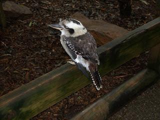 Kookaburra - Own Image