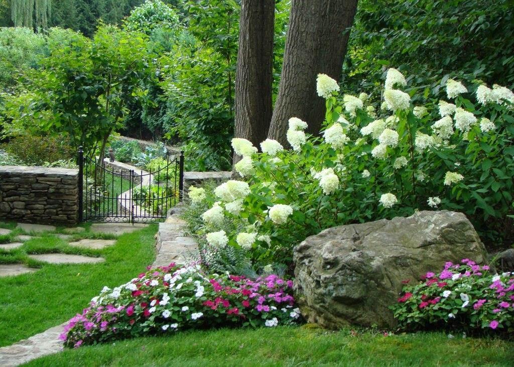 Limelight hydrangea and 39 little lime 39 hydrangea great - Hydrangea in garden design ...