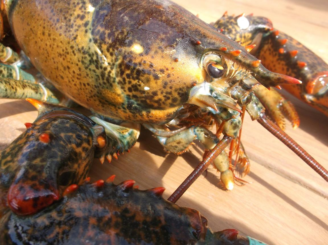 The Yankee Chef ® : FYI on Lobsters, Maine Lobster!