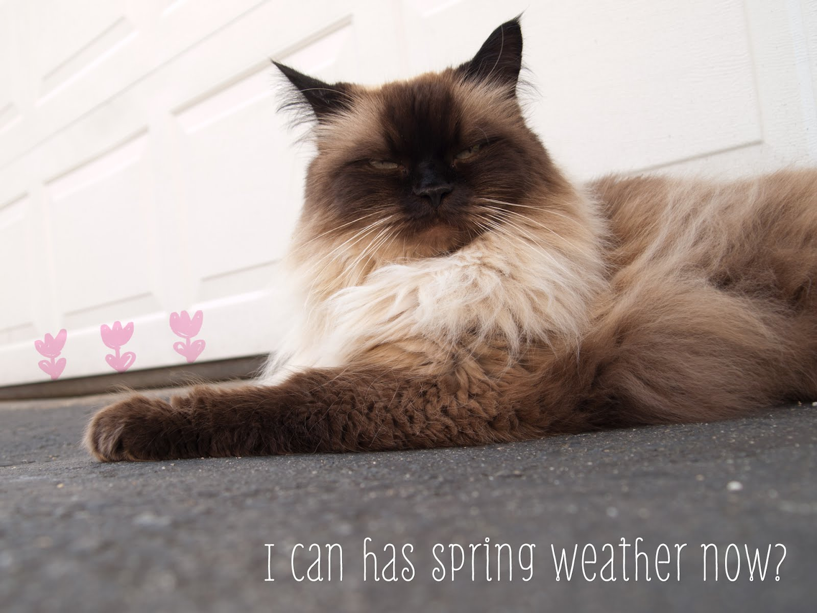 Happy Spring from my Himalayan Ragdoll Cat, Mickey