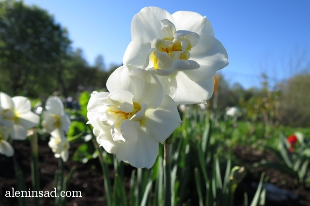нарциссы, поздний, махровая серединка, желтая серединка, аленин сад