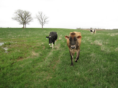 cows walking in pasture