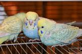 Красивые волнистые попугайчики