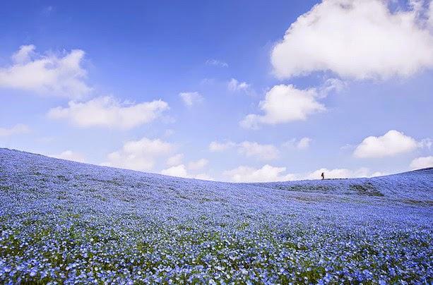 Fascinantes campos azules, no son de otro planeta son de aquí de la Tierra Azules4