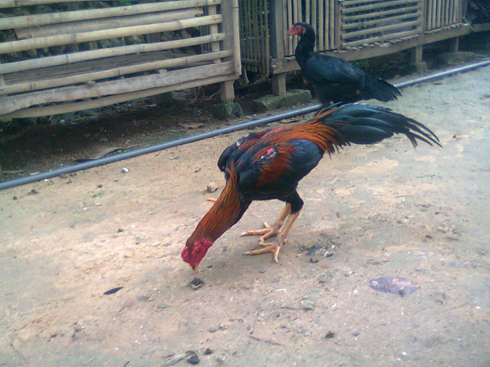 Jual Ayam Bangkok Lokasi Di Madura Wirausaha Budidaya Jamu Merpati Superkuat Untuk Agn Agan Penggemar Aduan Mania Bebotoh Ini Ada Kiriman Dari Saudara Agus S Widiyanto Yang Menawarkan
