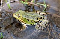 Відважна віра чи життя жаби?