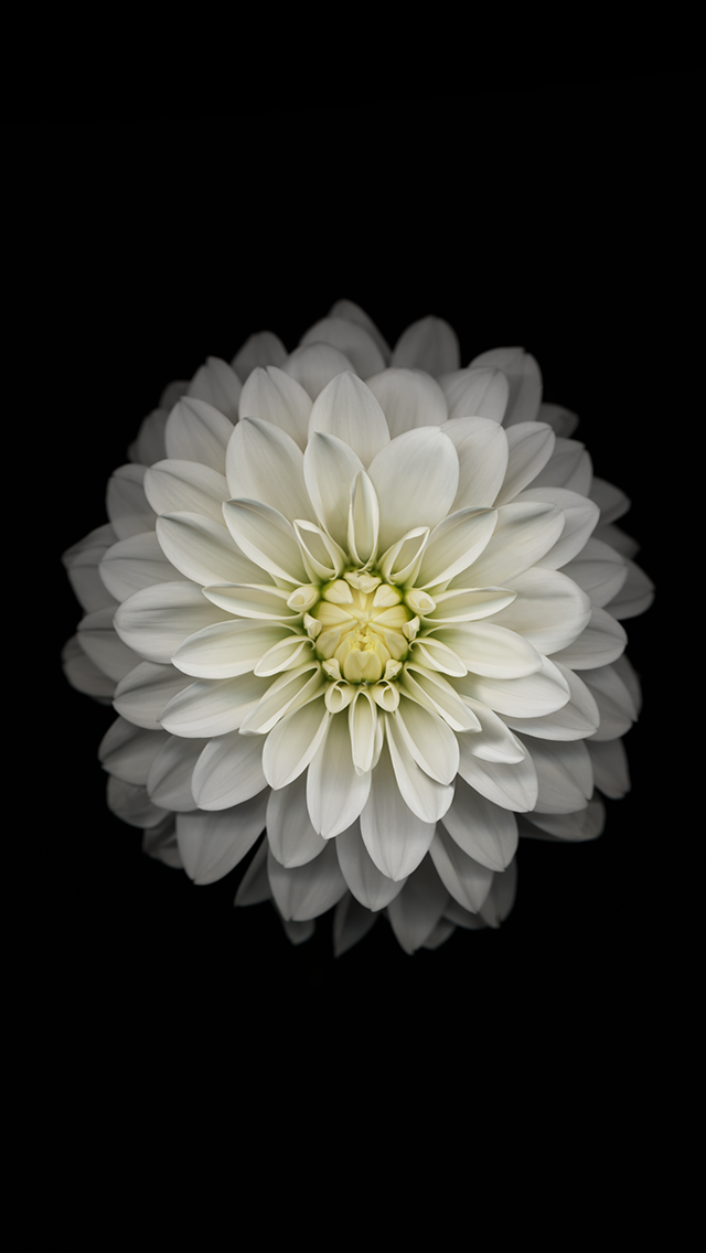 White flower ios 8 wallpaper for iphone 6