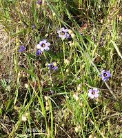 blue-eyed grass, Sisyrinchium