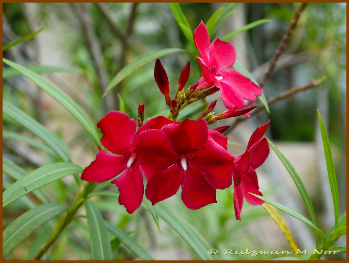 nerium oleander flowers around us by ridzwan mn. Black Bedroom Furniture Sets. Home Design Ideas