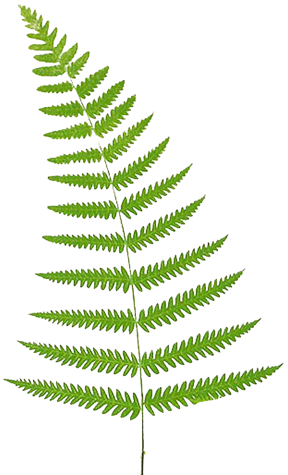 Fern Pictures Free Fern Free Png Image