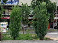Quercus robur 'Fastigiata' - Dąb szypułkowy