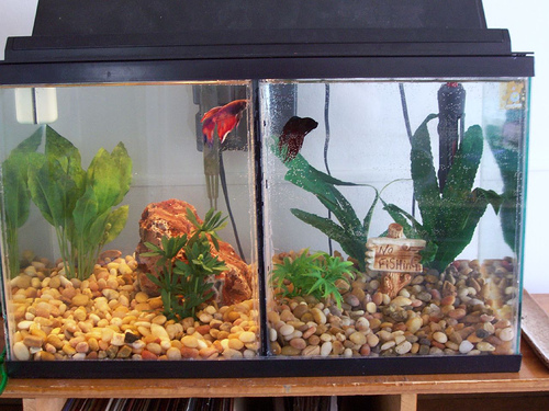 fish girl writes: divided betta tanks