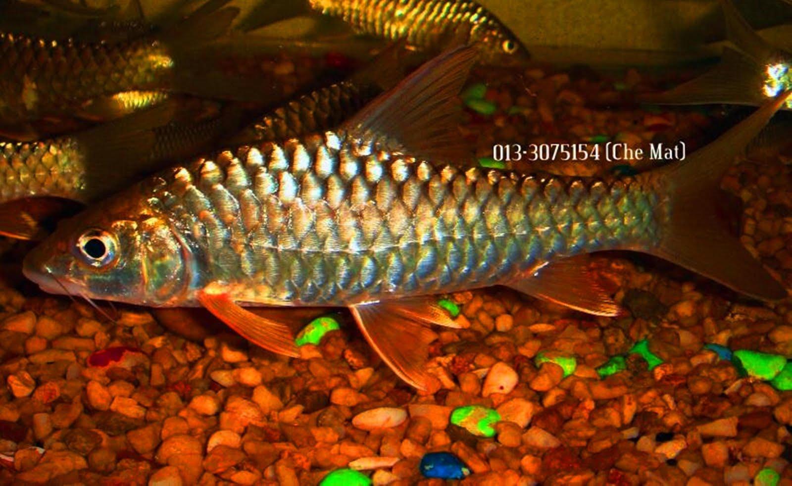 Ikan Kelah Bara Lipan
